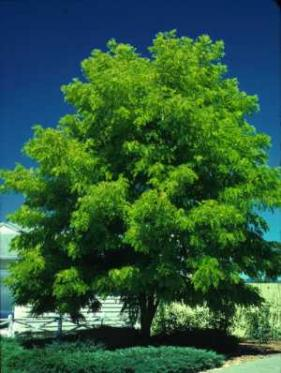 ... : How the Honey Locust Tree Got Its Spikes | Out walking the dog