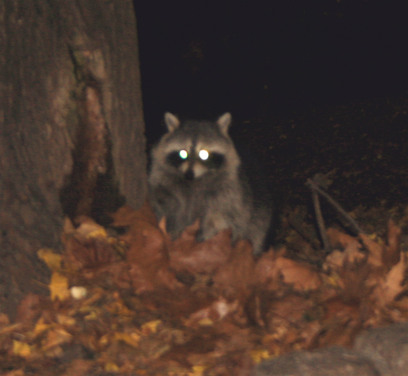 nyc raccoons out walking the dog