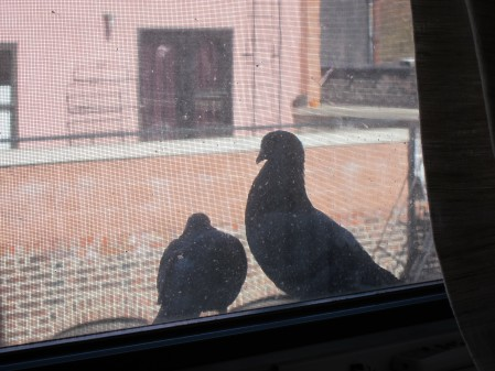 Image result for pigeon at window