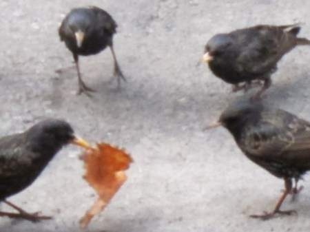 Starlings fight over pizza