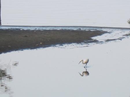 snowy egret in Mecox Bay