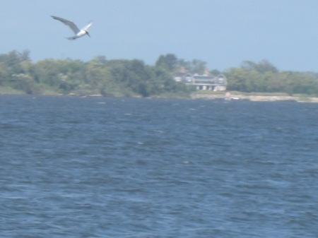 tern in Mecox Bay