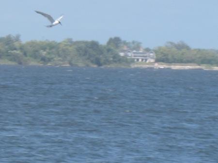 tern in Mecox Bay