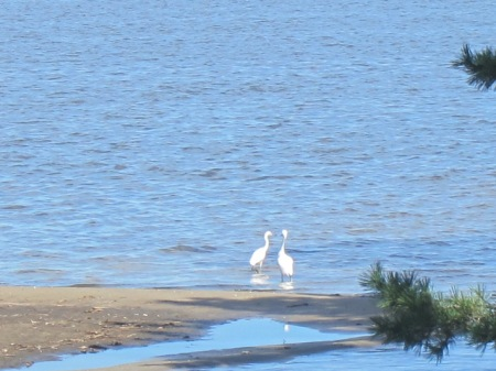 Two snowy egrets