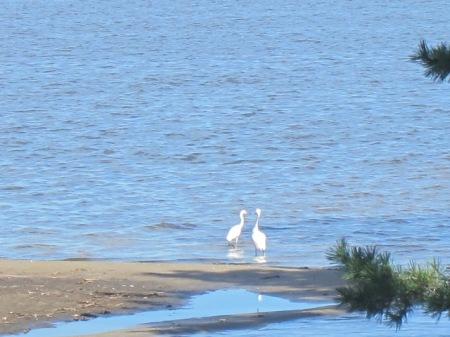 Two snowy egrets