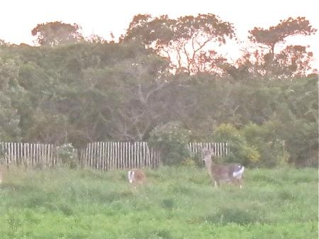Long Island deer