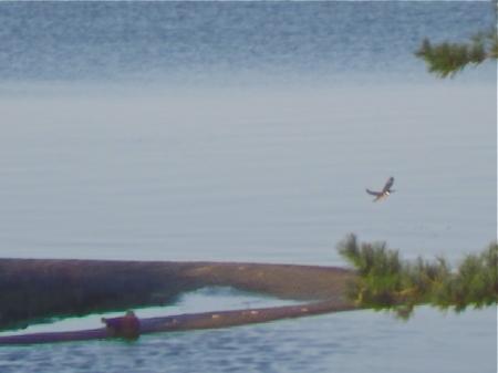 kingfisher flies off