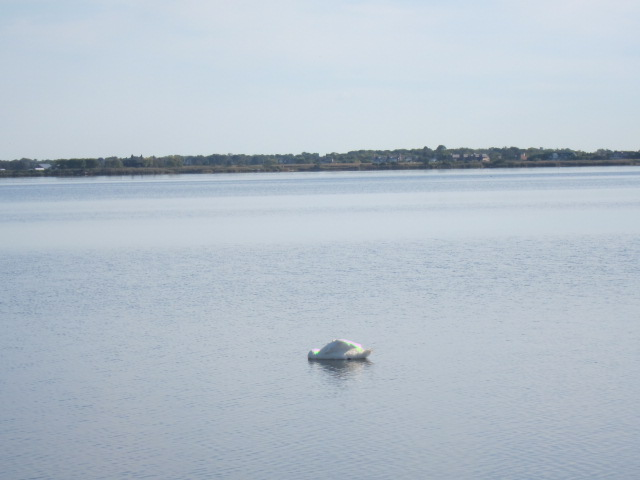 mute swan, strange posture