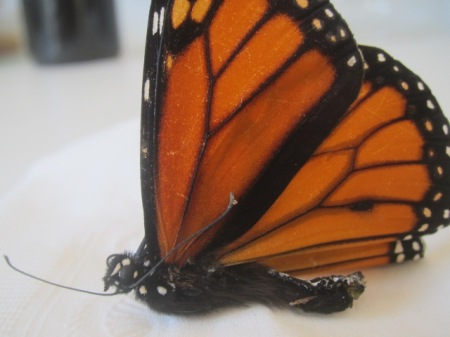 Scent spot on wing of male monarch butterfly