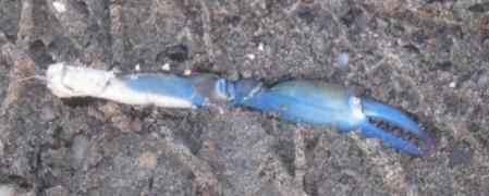 brilliant blue crab