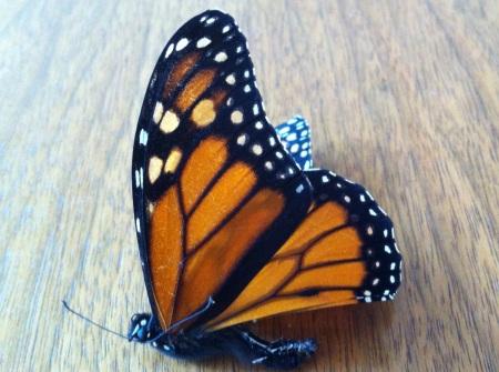 dead monarch butterfly