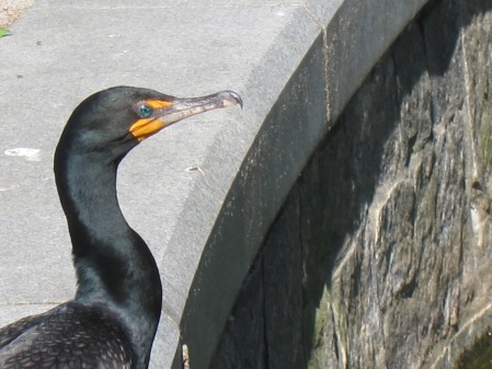 cormorant in breeding plumage