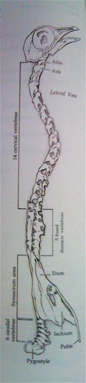 bird cervical vertebrae