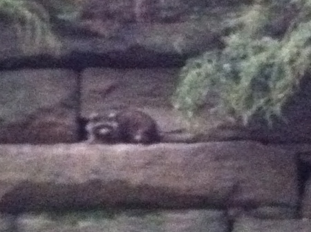 raccoon at its den