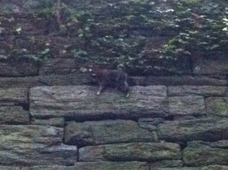 Riverside Park raccoon