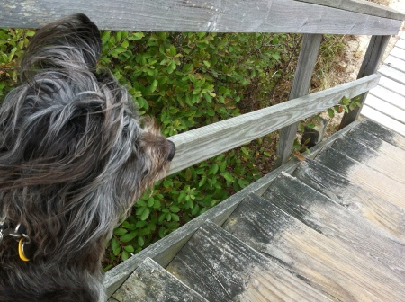 gray dog, gray boardwalk