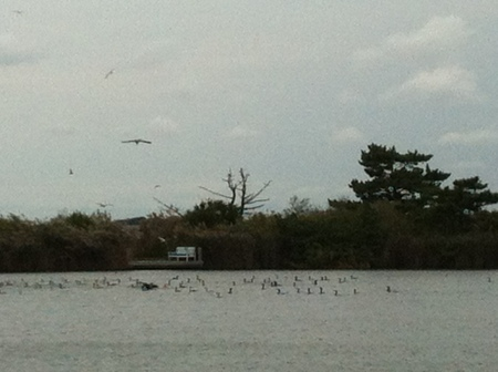 flock of cormorants