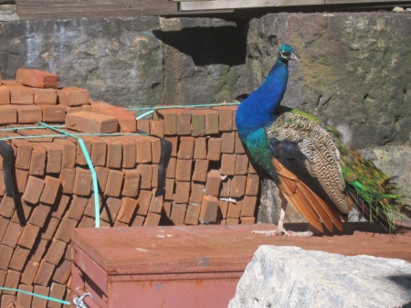 peacock and bricks