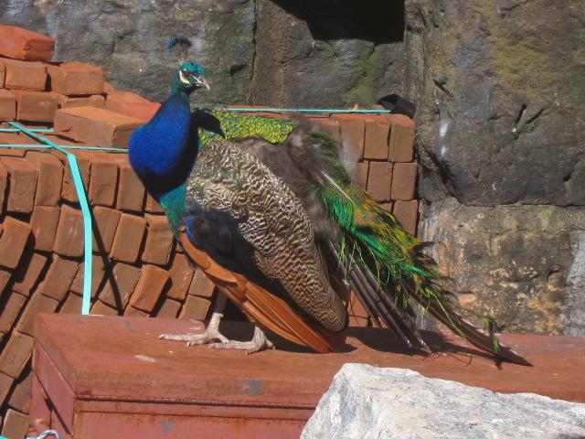 preening peacock