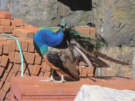 peacock bendy neck