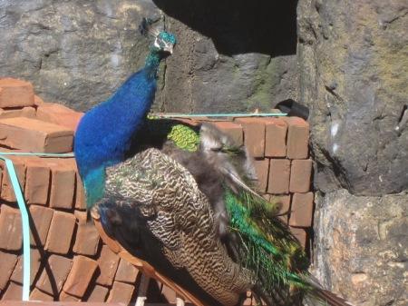 peacock watching