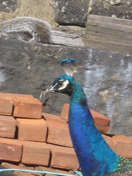 close-up peacock against bricks