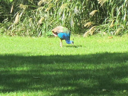 peacock grazing