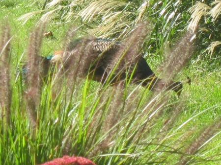 peacock in fall grasses