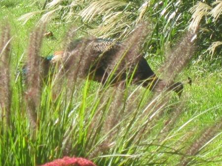 peacock in fall grasses