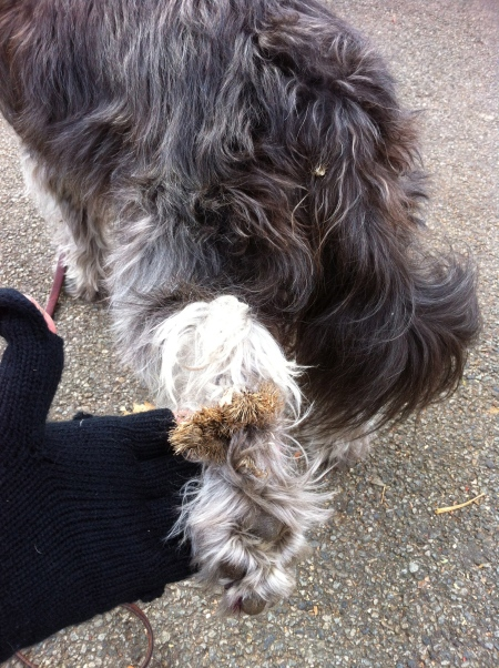 burdock | Out walking the dog
