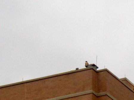 NYC red-tailed hawk