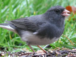 Dark-eyed Junco by Ken Thomas.