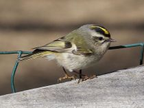 Golden-crowned kinglet by Dick Daniels