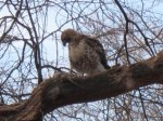 NYC Red-tail Eats Rat.