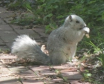 Delmarva Fox Squirrel, photo by Mary Shultz.