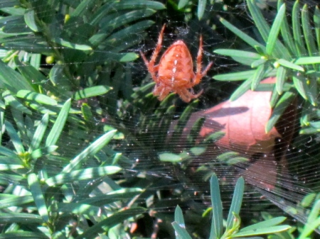 Orange spider in its web.
