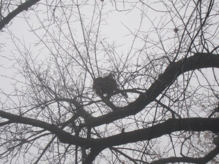 Squirrel drey in the mist.