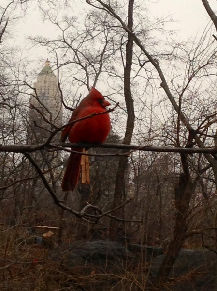 Cardinal in NYC. Photo: Rob Pavlin