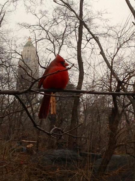 Cardinal in NYC. Photo: Rob Pavlin