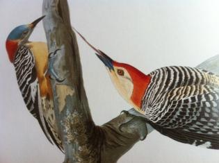 Red-bellied woodpecker by John James Audubon