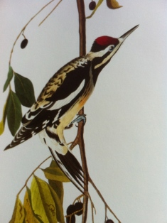 Yellow-bellied sapsucker by John James Audubon.