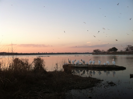 Pelicans in Dallas, Texas. Photo: Ellen Locy.