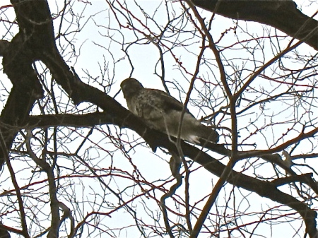 Red-tail at 106th and Riverside Drive.