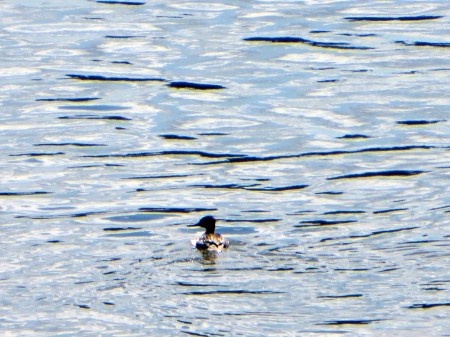 I believe this is a Common merganser.