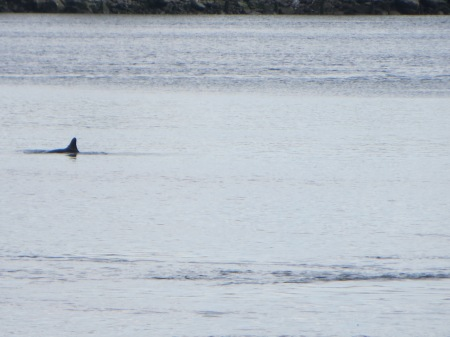 Dolphin in East River. Photo: Melissa Cooper