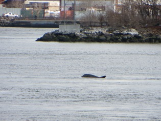 Dolphin in NYC's East River. Photo: Melissa Cooper