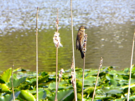 Female red-winged blackbird at Trout Lake.