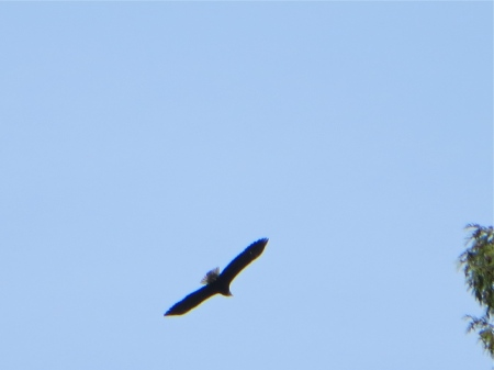 Bald eagle over Horseshoe Bay.