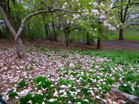 Magnolia carpet in Riverside Park.