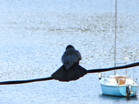 A crow fans its tails as it looks over the harbor.